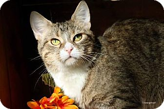 Domestic Shorthair Cat for adoption in Germantown, Maryland - Beyonce