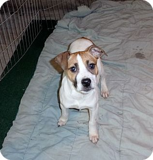 Terrier (Unknown Type, Small) Mix Puppy for adoption in Liberty Center, Ohio - Jolene