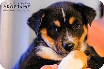 Australian Cattle Dog Mix Puppy for adoption in Edwardsville, Illinois - Tyrion
