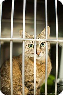 Abyssinian Cat for adoption in Greensboro, Georgia - Autumn