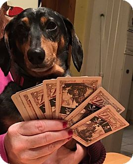 Dachshund Dog for adoption in Marcellus, Michigan - Nugget