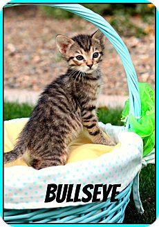 American Shorthair Kitten for adoption in Phoenix, Arizona - Bullseye