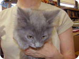 Domestic Shorthair Kitten for adoption in Tehachapi, California - Popo
