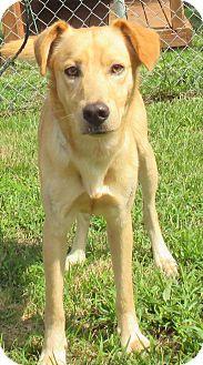 Labrador Retriever/Border Collie Mix Dog for adoption in Reeds Spring, Missouri - Gleason