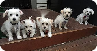 Westie, West Highland White Terrier Mix Puppy for adoption in Los Angeles, California - Kylie