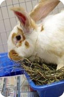 Flemish Giant Mix for adoption in Woburn, Massachusetts - Fiona