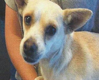 Chihuahua/Terrier (Unknown Type, Medium) Mix Dog for adoption in Longview, Washington - POPPA