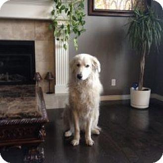 Great Pyrenees Mix Dog for adoption in Okotoks, Alberta - Bella