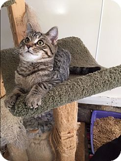 Domestic Shorthair Kitten for adoption in Ashland, Ohio - George