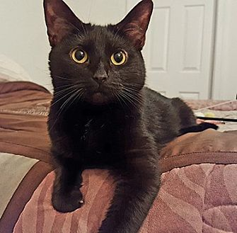 Domestic Shorthair Cat for adoption in Youngsville, North Carolina - Destiny
