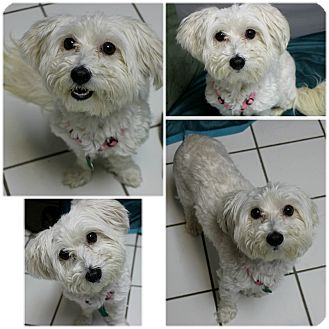 Maltese Dog for adoption in Forked River, New Jersey - Princess