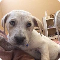 Adopt A Pet :: TJ Watt - Jersey City, NJ