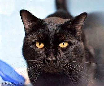Domestic Shorthair Cat for adoption in Denver, Colorado - Marvin Pampa