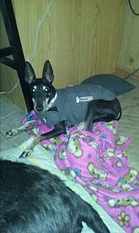 Manchester Terrier/Manchester Terrier Mix Dog for adoption in Northeast, Ohio - Sophia