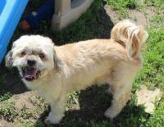 Shih Tzu Mix Dog for adoption in New palestine, Indiana - Nugget