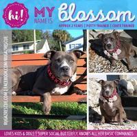 Adopt A Pet :: Blossom - New Port Richey, FL