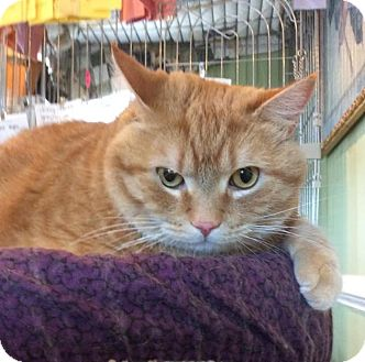 Domestic Shorthair Cat for adoption in Breinigsville, Pennsylvania - Charlie