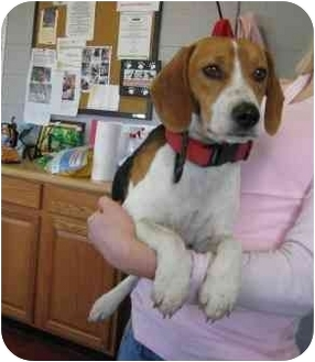 Beagle Dog for adoption in Florence, Indiana - Hickory
