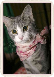 Domestic Shorthair Kitten for adoption in Sterling Heights, Michigan - Jill - ADOPTED!