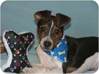 Feist Puppy for adoption in Hartford, Connecticut - Levi