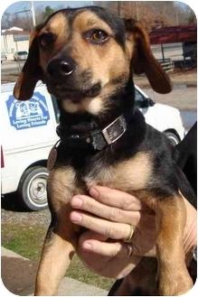 Beagle/Dachshund Mix Dog for adoption in Arkadelphia, Arkansas - Bear