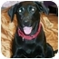 Photo 2 - Labrador Retriever Dog for adoption in Marion, Arkansas - Stormy