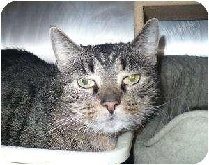Domestic Shorthair Cat for adoption in Colmar, Pennsylvania - Punkin