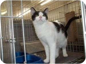 Domestic Shorthair Cat for adoption in McDonough, Georgia - Ruby Dee-Light