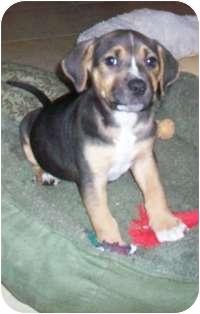 Labrador Retriever/Boxer Mix Puppy for adoption in Tustin, California - Huey