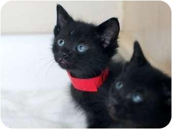 Domestic Shorthair Kitten for adoption in Burbank, California - Cookie - ADORABLE KITTEN!!!