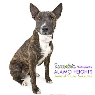 Bull Terrier Mix Dog for adoption in San Antonio, Texas - Bartley