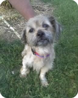 Shih Tzu Dog for adoption in Whitakers, North Carolina - Lucky