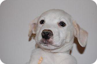 Golden Retriever Puppy for adoption in Coral Springs, Florida - Kiwi