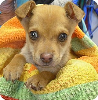 Chihuahua/Dachshund Mix Dog for adoption in Wickenburg, Arizona - Buzz