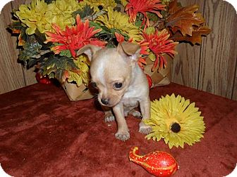 Chihuahua Puppy for adoption in Chandlersville, Ohio - Dixie