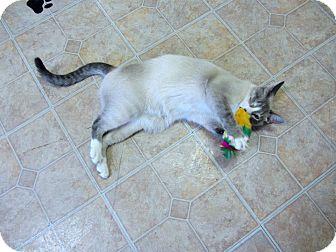 Siamese Cat for adoption in Mobile, Alabama - Thomas