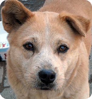 Australian Cattle Dog/Shiba Inu Mix Dog for adoption in Wappingers, New York - Champagne Lorraine