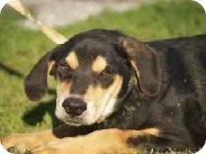 Basset Hound/German Shepherd Dog Mix Puppy for adoption in Lilbourn, Missouri - Isaiah