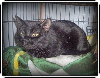 Bombay Cat for adoption in Medford, Wisconsin - REGGIE