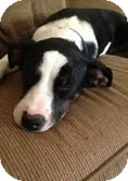 Border Collie/Terrier (Unknown Type, Medium) Mix Dog for adoption in Nashville, Tennessee - Oreo
