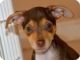 Dachshund/Chihuahua Mix Puppy for adoption in Knoxville, Tennessee - Bronson
