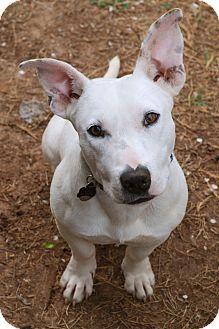 Bull Terrier/Beagle Mix Dog for adoption in Huntsville, Alabama - Otto