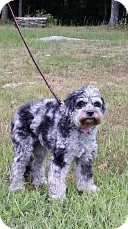 Schnauzer (Miniature)/Poodle (Miniature) Mix Dog for adoption in Hagerstown, Maryland - Jillian (DC)