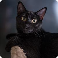 Adopt A Pet :: Chico - St. Louis, MO