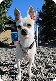 Chihuahua Dog for adoption in Redmond, Oregon - Kelly