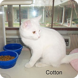 Domestic Shorthair Cat for adoption in Slidell, Louisiana - Cotton