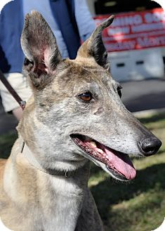 """Greyhound Dog for adoption in Gainesville, Florida - Lily aka """"Mh Whizzer Lil"""""""