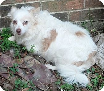 Chihuahua/King Charles Spaniel Mix Dog for adoption in conroe, Texas - Bruiser