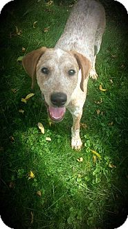 Pointer Mix Dog for adoption in Cool Ridge, West Virginia - Gabby