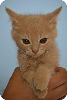 Domestic Shorthair Kitten for adoption in Michigan City, Indiana - Berlioz